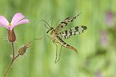 Common Scorpion Fly flying France