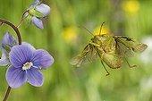 Green shield bug flying and flower Burgundy France