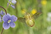 Green shield bug flying and flower Burgundy France