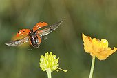 Sevenspotted Lady Beetle in flight Burgundy France