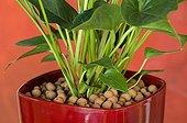 Clay balls around an anthurium 'Pink Champion' in pot