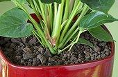 Pozzolana around an anthurium 'Pink Champion' in pot