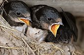 Young Swallows stack hungry nest France