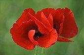 Poppy flowers France