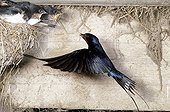 Barn Swallow feedingchicks at nest France