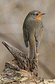 European Robin on deadwood France