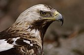 Portrait of spanish imperial eagle