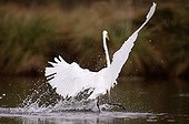 Great Egret fishing in a river France