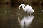 Great Egret swallowing a pike in a river France