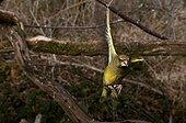 Greenfinch in flight France