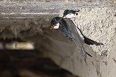 House Martin feeding in the nest France