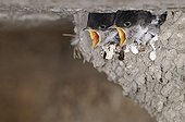 Young House Martins at nest France