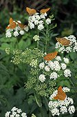 Silver-washed Fritillaries on umbels France