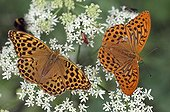 Silver-washed Fritillaries on an umbel France