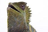 Portrait of a native Java Chameleon Forest Dragon in studio