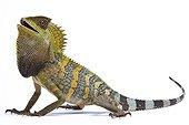 Chameleon Forest Dragon from Java in studio