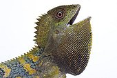 Portrait of a Chameleon Forest Dragon from Java in studio
