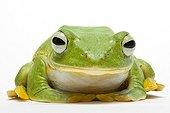 Reinwardt's Tree Frog from Indonesia in studio