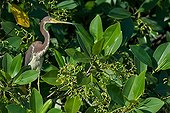 Tricoloured Heron in foliage in South America