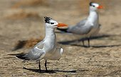 Two Royal Tern in South America