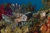 Red lionfish Red Sea Ras Mohammed NP Egypt