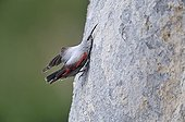 Wallcreeper seeking insects on cliffAlps France