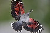 Wallcreeper flight with insects in beak Alps France