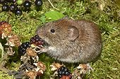 Bank Vole (Myodes glareolus) eating a mature adult