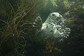 Grey Seal swimming Jentilez France
