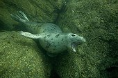 Grey Seal underwater at Jentilez France