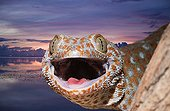 Portrait of Tokay Gecko at dusk Missol Indonesia