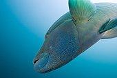Napoleon Humpback Wrasse North Ari Atoll Maldives