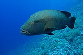 Humphead wrasse swimming in Red sea Egypt
