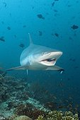 Grey Reef Shark with Cleaner Wrasse North Ari Atoll Maldives