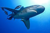 Oceanic Whitetip Shark in Red sea Egypt