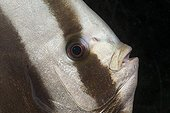 Head of Longfin Batfisch Maldives