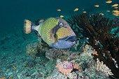Green Titan Triggerfish South Male Atoll Maldives