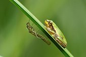 Green tree frog on a leaf Rush and moult Touraine France