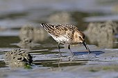 Dunlin looking for worm in the mud Britain France