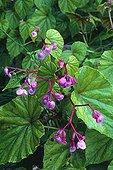 Bégonia en fleur dans un jardin ; Bégonia rustique