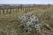 Seaside Eryngo flowers on a dune protected Britain France