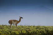 Guanaco under the rain in the Torres del Paine NP Chile