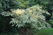 Japanese angelica tree 'variegata' in bloom in a garden