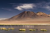 Flock of Andean Flamingos the frozen lake on in altiplano