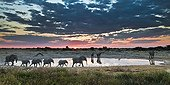 Marching elephants in waterhole Etosha NP Namibia