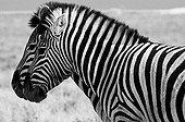 Two converging zebras in Etosha NP Namibia