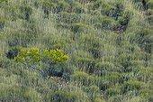 Australian spinifex bush in the Purnululu NP Australia