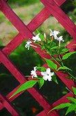 Poet's jasmine in bloom in a garden
