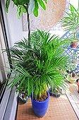 Areca palm on a balcony