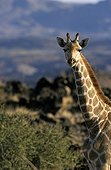 Giraffe in the Augrabies Falls NP South Africa